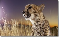 Close-up of Cheetah (Acinonyx jubatus) sitting in grass, Namibia