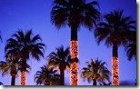 Palm trees decorated with lights, Palm Springs, California, USA