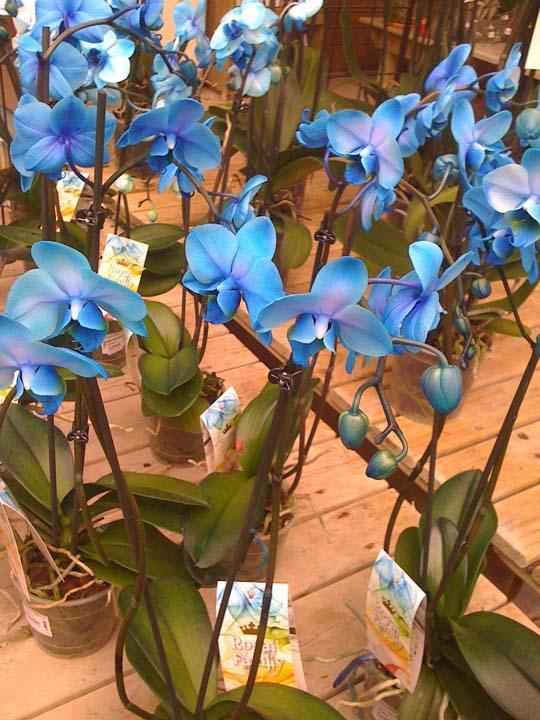 Orchidea orchidee blu  phalaenopsis colorate di blu e