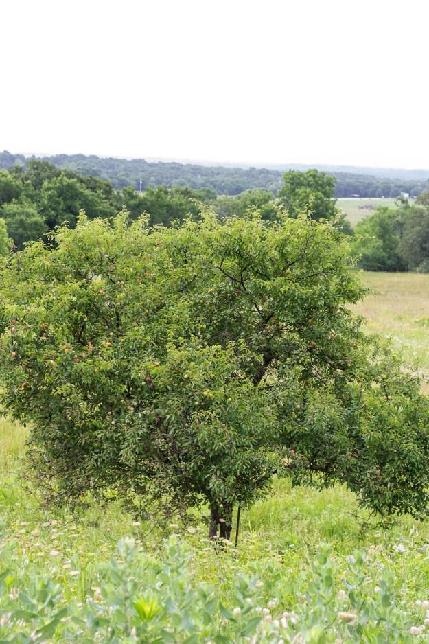 Oklahoma Sand Plum Tree