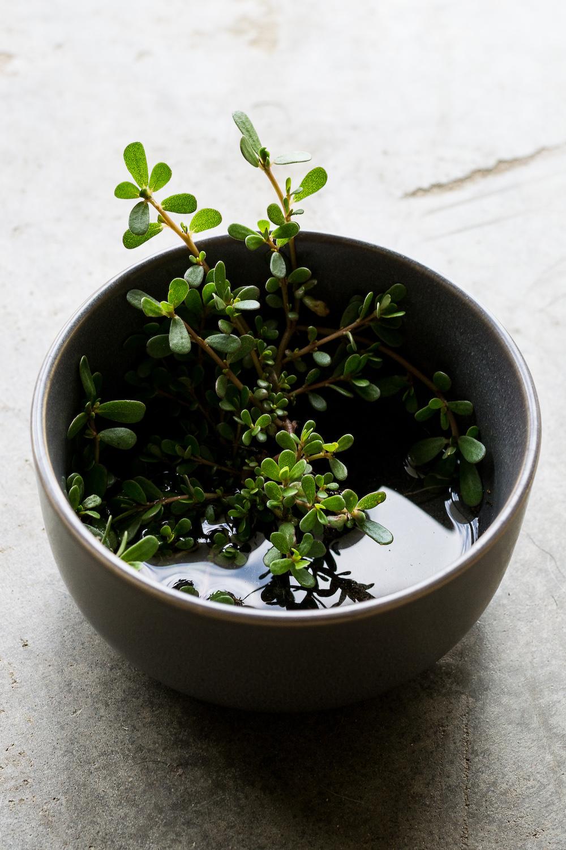 Foraging Purslane, Superweed