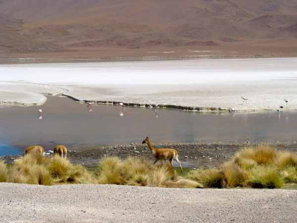 Vigogne, lagune, Uyuni, Bolivie