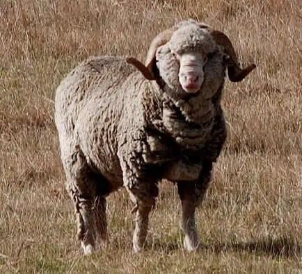Mouton, laine, mérino
