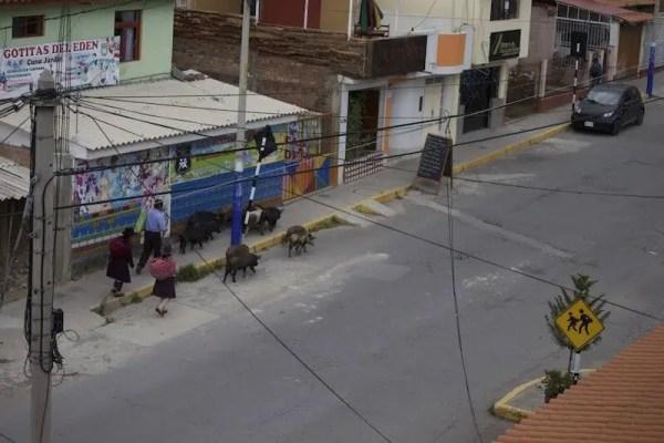 Huaraz, cochon