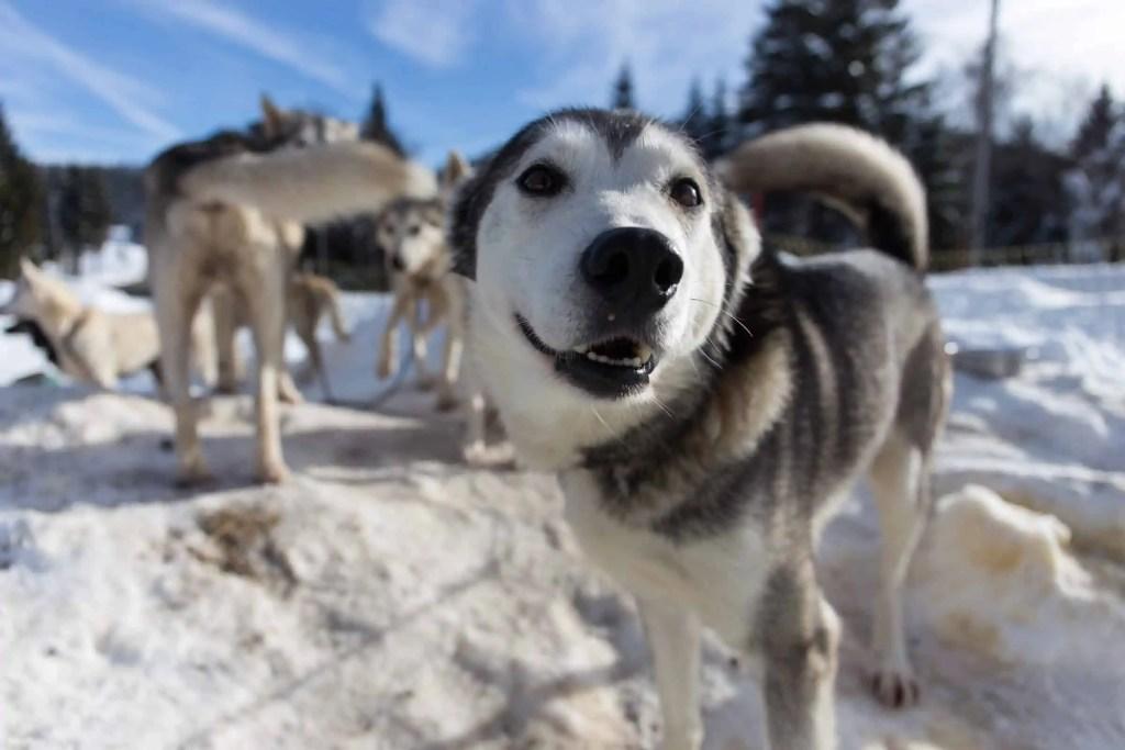 chien, traineau, Montagnes du Jura, Jura, France