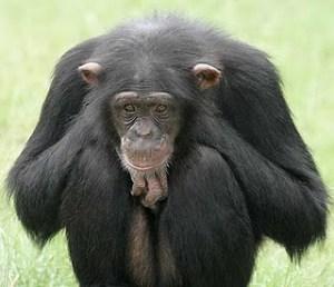 sad_chimp