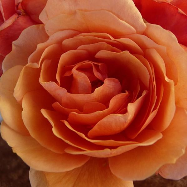 Jane Austen Rose