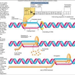 Dna Translation Diagram Directed Wiring Diagrams Satr