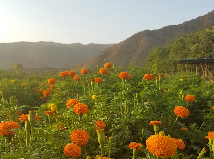 Everything You Need To Know About A Pushkar Flower Tour