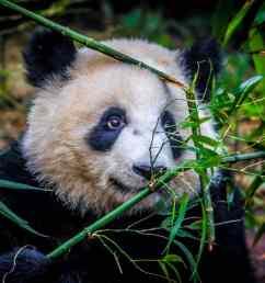 panda bamboo chengdu china [ 1500 x 1000 Pixel ]
