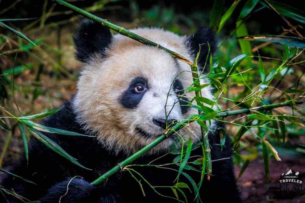 medium resolution of  panda bamboo chengdu china