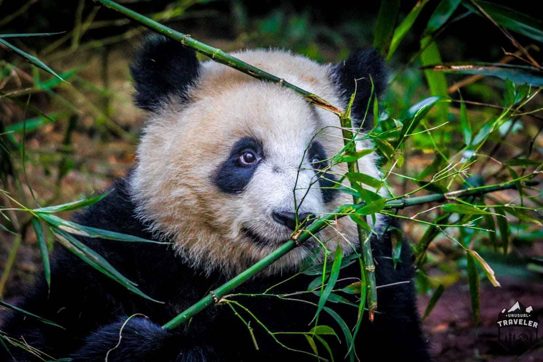 hight resolution of  panda bamboo chengdu china