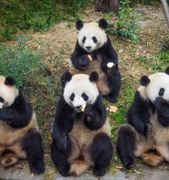 chengdu home of the giant panda  [ 1500 x 975 Pixel ]