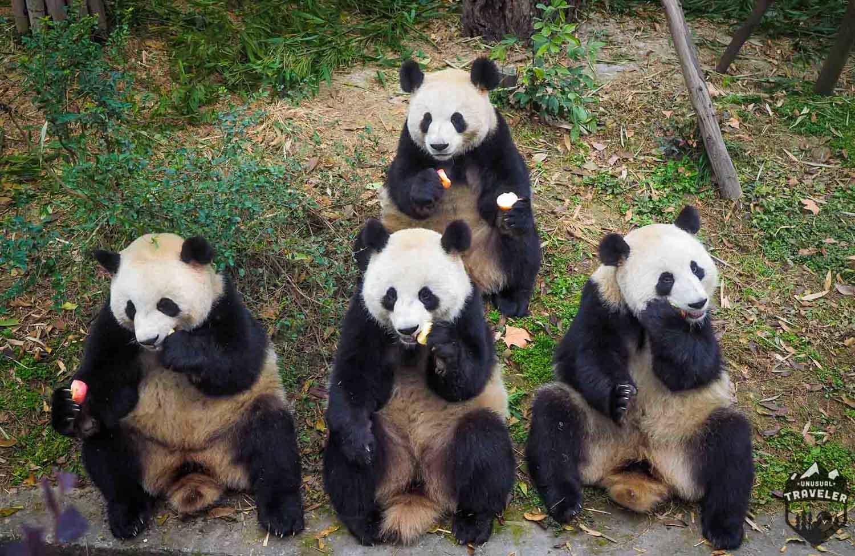 hight resolution of chengdu home of the giant panda