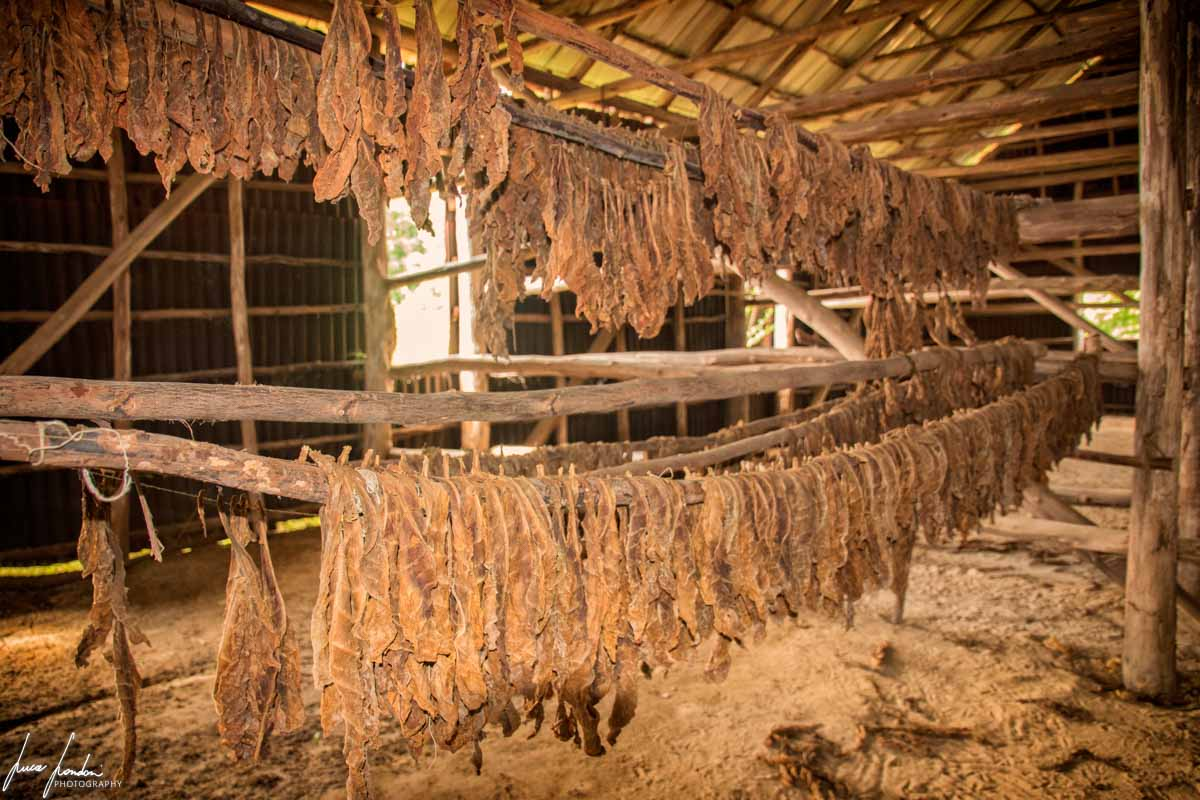 Cosa vedere a Vinales: Le piantagioni di tabacco e le casas de tabaco