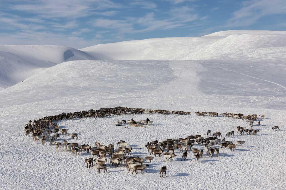 Nenets della Siberia: una delle mandrie della nostra prima famiglia