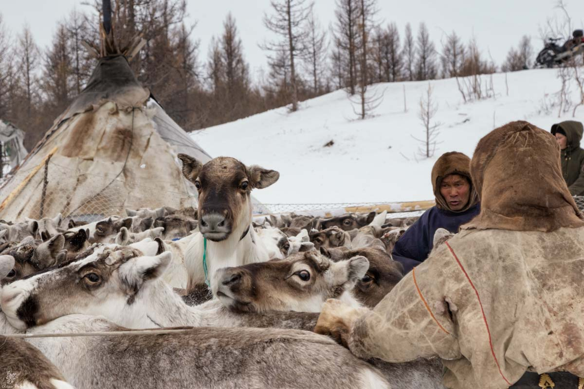 Nenets della Siberia: la mandria nell'accampamento della nostra seconda famiglia