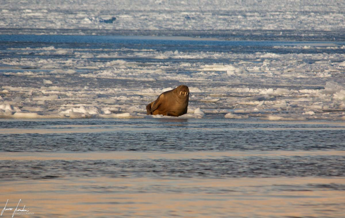 Barentsburg: Tricheco Sul ghiaccio marino