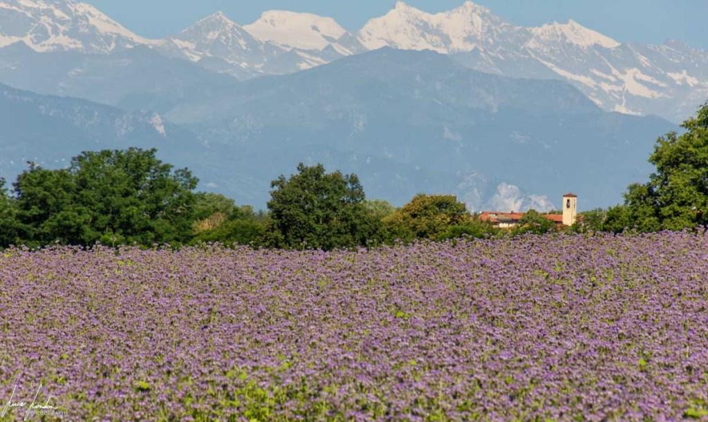 Campi di facelia a Castelnuovo Bozzente