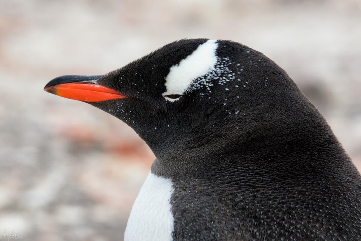 Antartide: Pinguino Gentoo
