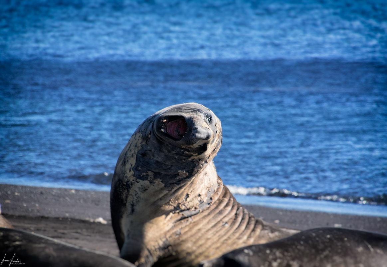 Antartide: Elefante marino maschio