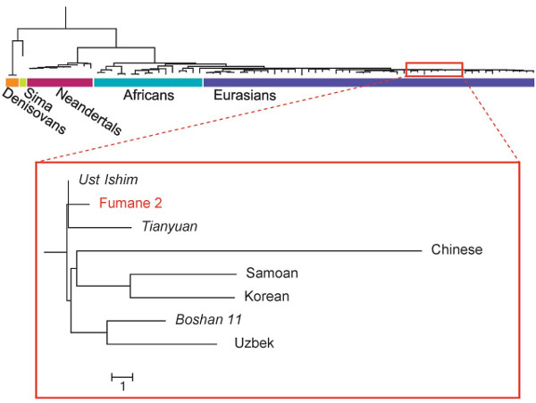"Phylogenetic tree of mtDNA lineages, with 40 K B.P Aurignacian ""Fumane 2"""