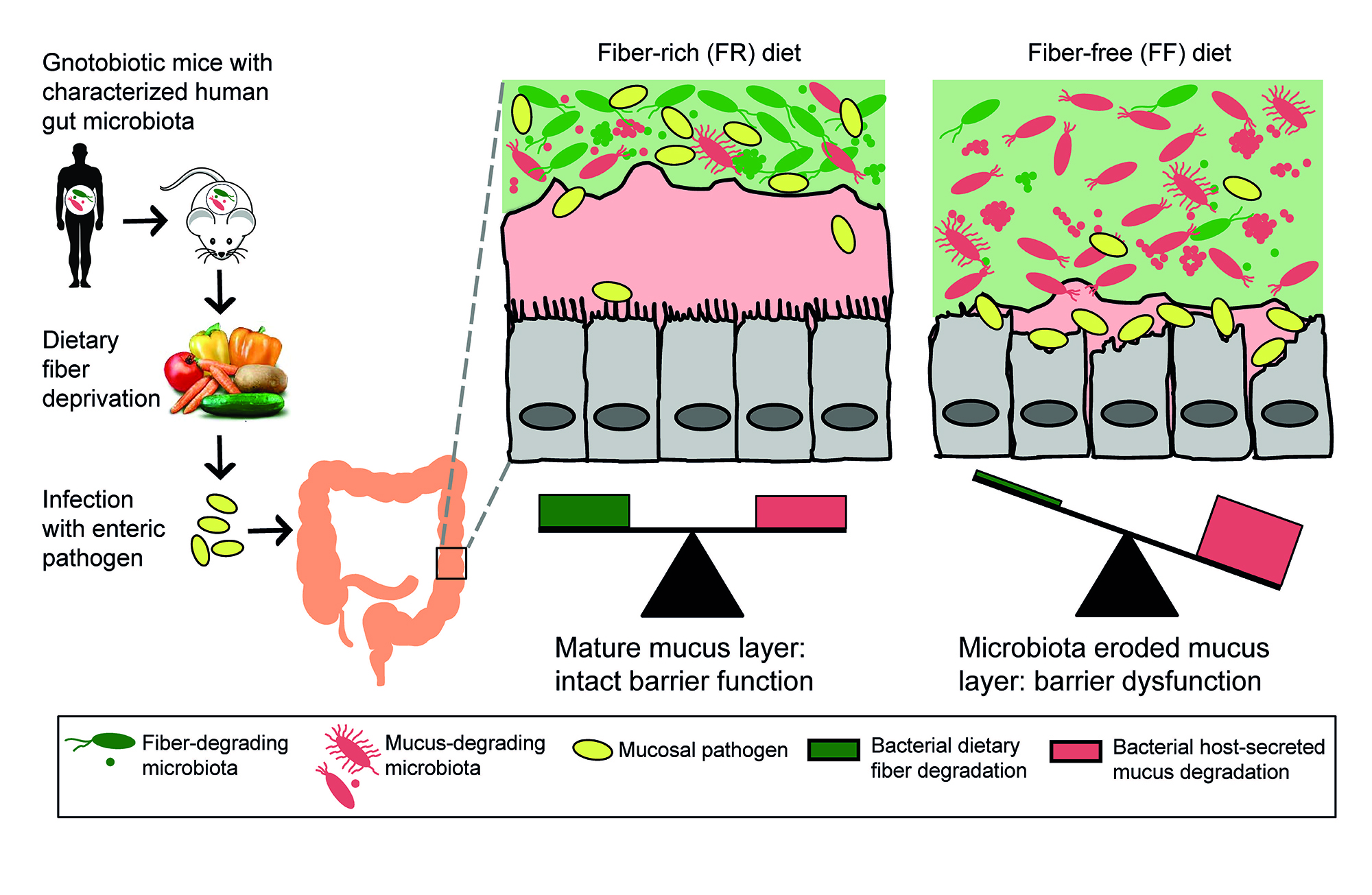 hight resolution of gut fiber diagram from martens germ mouse study