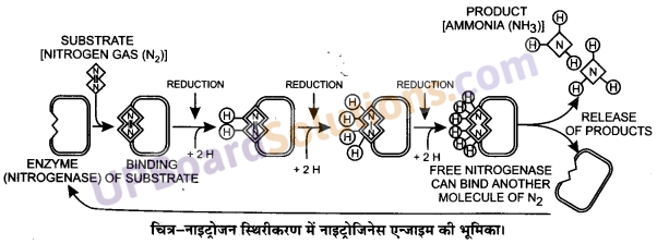 UP Board Solutions for Class 11 Biology Chapter 12 Mineral Nutritionimage 1