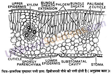 UP Board Solutions for Class 11 Biology Chapter 6 Anatomy of Flowering Plants image 11