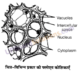 UP Board Solutions for Class 11 Biology Chapter 6 Anatomy of Flowering Plants image 15