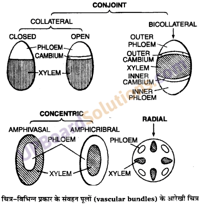 UP Board Solutions for Class 11 Biology Chapter 6 Anatomy of Flowering Plants image 20