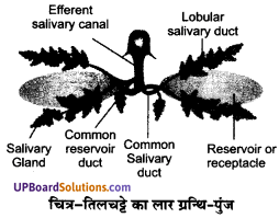 UP Board Solutions for Class 11 Biology Chapter 7 Structural Organisation in Animalsimage 20