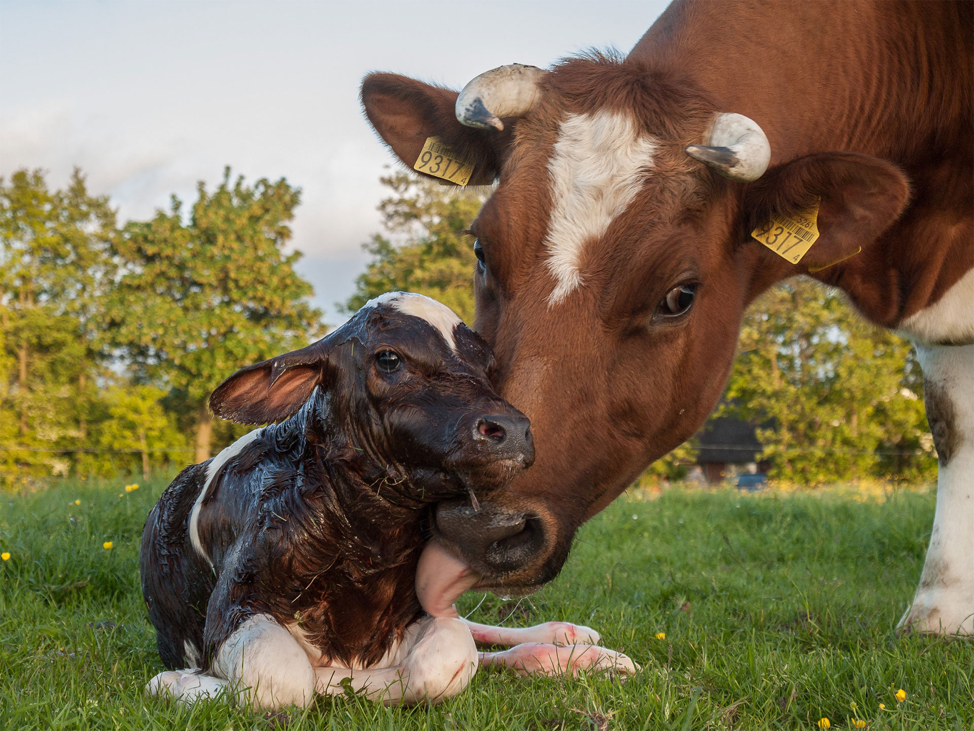 A calf being licked by her mother.