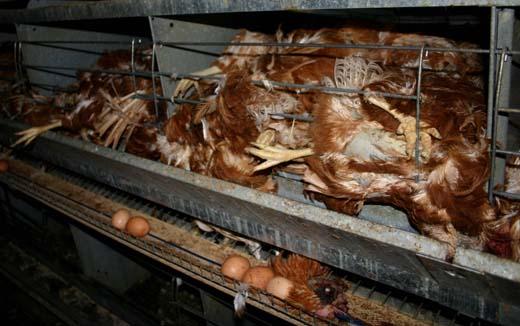 Battery Hen Farm Horror in New Zealand Activists liberate