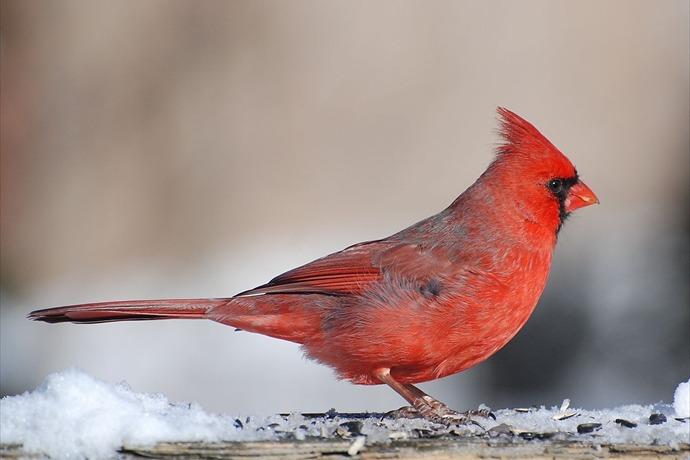 Cardinal bird_4608680156033994066