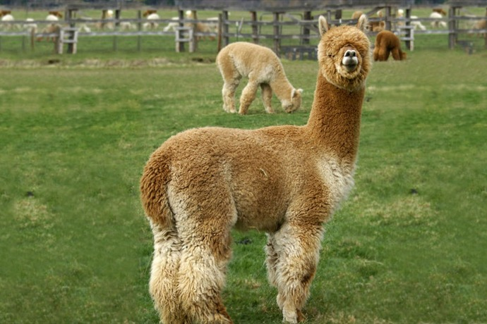 London-Dairy Alpacas_-6860394108285464846