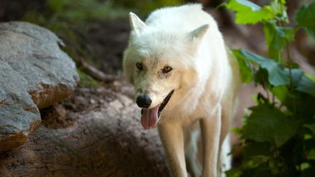Gray wolf_3484332801212940-159532
