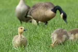 goslings-small_crop_1555351984776.jpg
