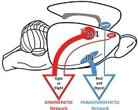 Brain to Stomach Fig 5 release2