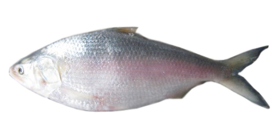 Ilish Fish Delivery In Dhaka Chittagong Sylhet Hilsha