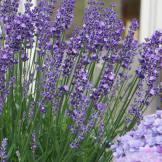 Lavendula Big Time Blue