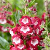 Penstemon Pentastic™ Red