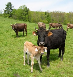 Cows and cattle