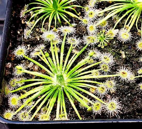 Drosera broomensis Cape Leveque, Kimberley Cover