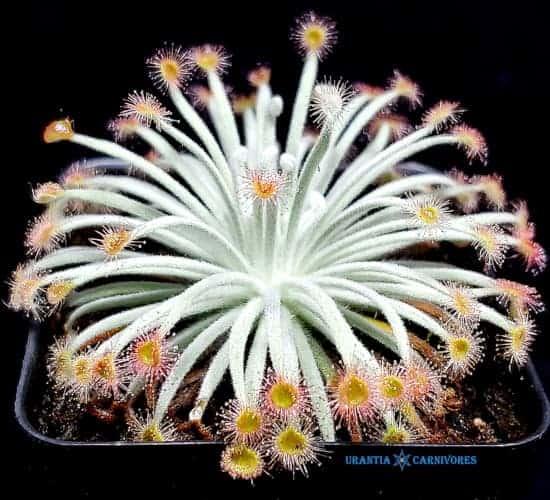 Drosera darwinensis \'Berrimah\' x Drosera derbyensis \'Winjana\' Seeds