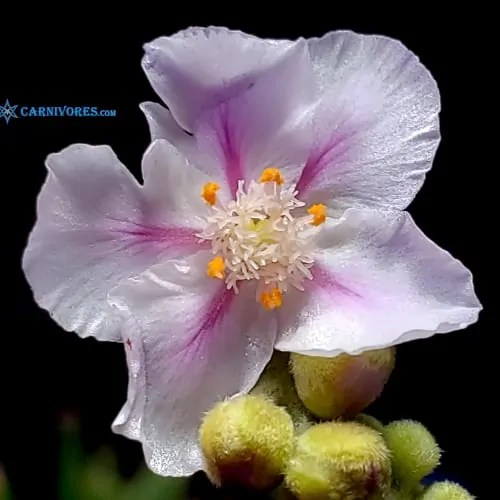 Drosera fulva 'Girraween, N.T.' Flower