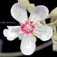 Drosera ordensis Egret, Kimberley Flower (2)