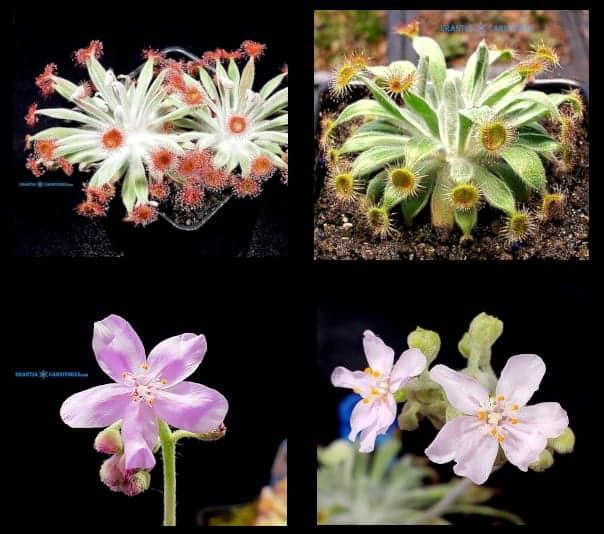 Drosera aff. ordensis 'Kingston Rest' (North) x Drosera ordensis 'Stonewall Creek' Seeds