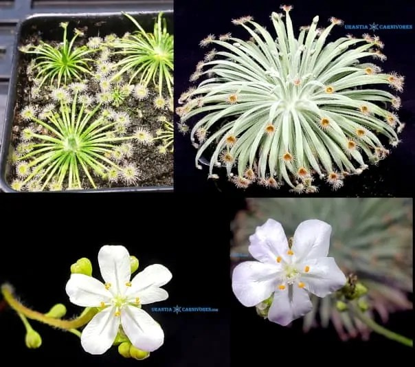 Drosera broomensis x Drosera derbyensis