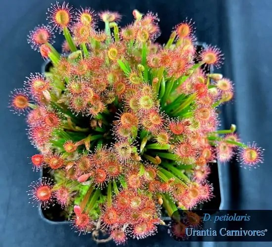 Drosera petiolaris Cover
